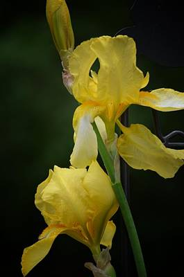 Photograph - Golden Irises by Maria Urso