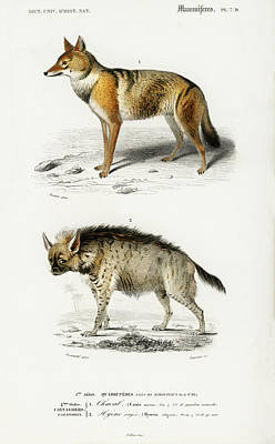 Painting - Golden Jackal And Striped Hyena by Charles Dessalines D' Orbigny