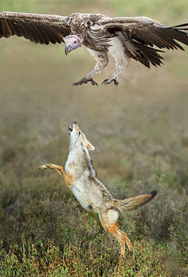 Focus On Foreground Photograph - Golden Jackal, Canis Aureus, Leaping At Vulture by Panoramic Images