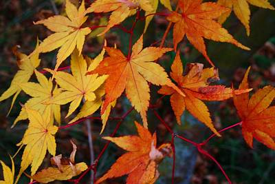 Photograph - Golden Japanese Maple by Kathryn Meyer