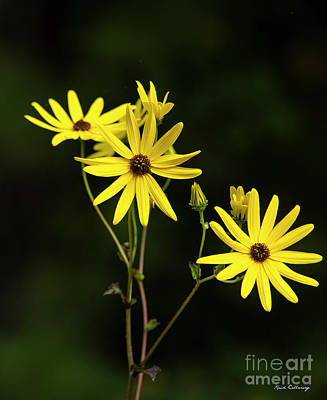 Photograph - Golden Jerusalem Black Eyed Susan Flower Art by Reid Callaway