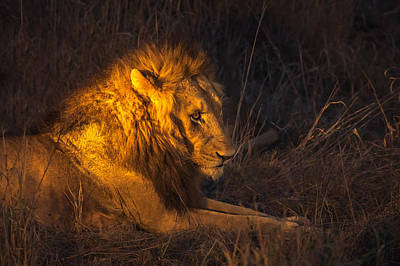 Photograph - Golden King by Tex Wantsmore
