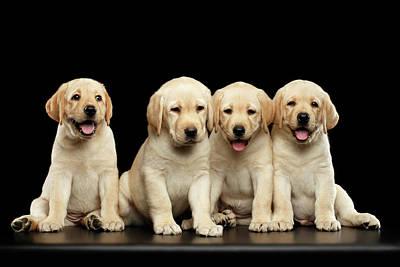 Golden Labrador Retriever Puppies Isolated On Black Background Art Print