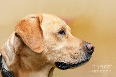 Golden Labrador Art Print by Nichola Denny