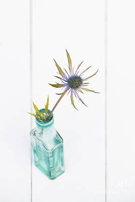 Photograph - Golden Leaved Sea Holly by Tim Gainey