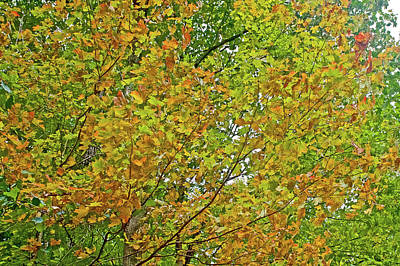 Photograph - Golden-leaved Tree Along Trail To North Beach Park In Ottawa County, Michigan  by Ruth Hager