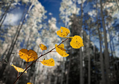 Photograph - Golden Leaves Against A Muted Forest by Mary Lee Dereske