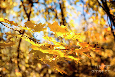 Photograph - Golden Leaves by Ivy Ho