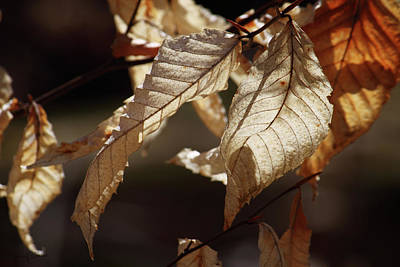 Photograph - Golden Leaves by Nancy  Coelho