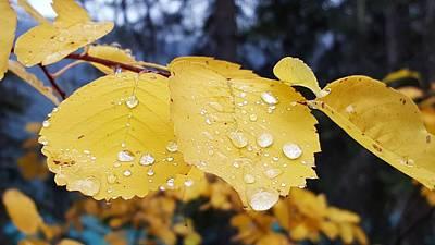 Mistletoe - Golden Leaves with Water Droplets, Yoho National Park by William Slider