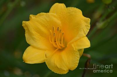 Photograph - Golden Lily 18-1 by Maria Urso