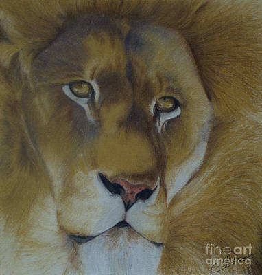 Drawing - Golden Lion by Amy Hodgkinson