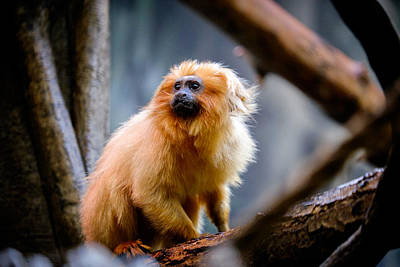 Photograph - Golden Lion Tamarin by John McArthur