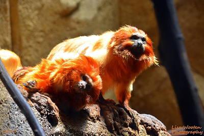 Photograph - Golden Lion Tamarin by Lisa Wooten