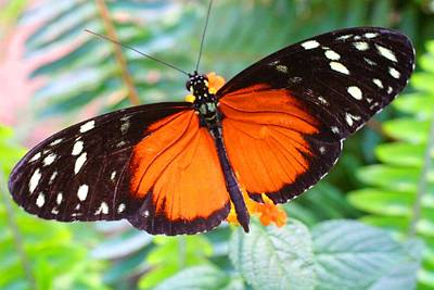 Photograph - Golden Longwing Butterfly by Kathryn Meyer
