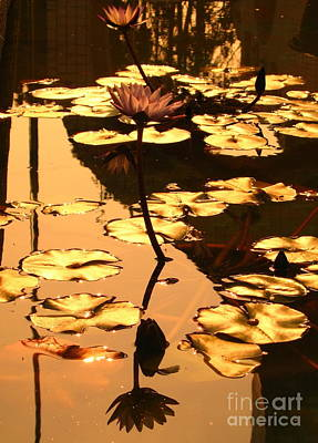 Photograph - Golden Lotus Pond by Yali Shi
