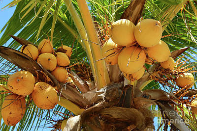 Photograph - Golden Malayan Dwarf Coconuts by Olga Hamilton