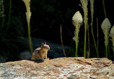 Photograph - Golden-mantled Ground Squirrel by Betty Depee