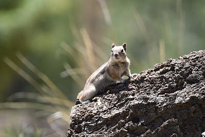 Photograph - Golden Mantled Ground Squirrel by Margarethe Binkley