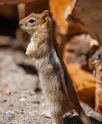 Photograph - Golden-mantled Ground Squirrel by Melinda Fawver