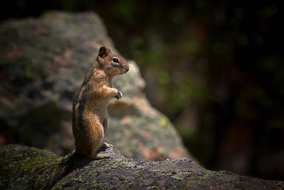 Boulder Photograph - Golden Mantled Ground Squirrel Rocky Mountains Colorado by Christine Till