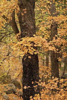 Photograph - Golden Maple Forest  by Saija Lehtonen