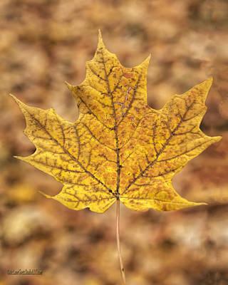 Ray Photograph - Golden Maple Leaf by LeeAnn McLaneGoetz McLaneGoetzStudioLLCcom