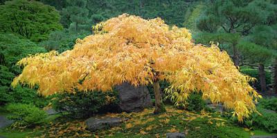 Photograph - Golden Maple by Lori Grimmett