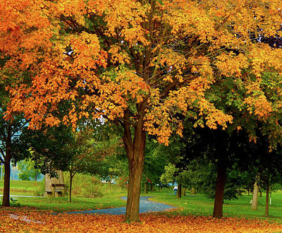 Photograph - Golden Maple by Wild Thing