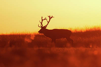 Christmas Holiday Scenery Photograph - Golden Mood - Red Deer At Sunset by Roeselien Raimond