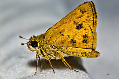 Photograph - Golden Moth by Christopher Holmes