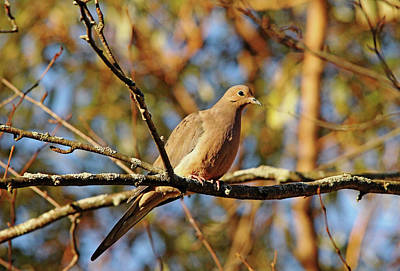 Photograph - Golden Mourning Dove In Autumn by Debbie Oppermann