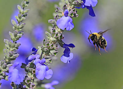 Photograph - Golden Northern Bumble by Donna Kennedy