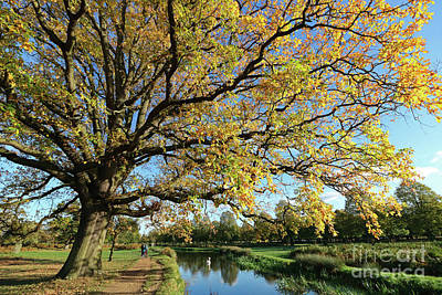 Photograph - Golden Oak Tree At Bushy Park London by Julia Gavin