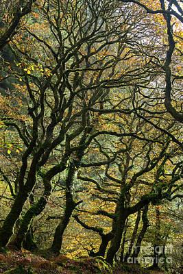Photograph - Golden Oaks by Andy Myatt