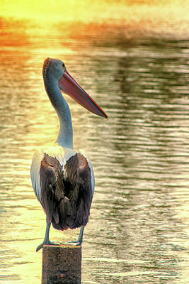 Photograph - Golden Pelican by Brett Christensen