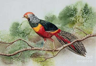 Painting - Golden Pheasant by Frank Townsley