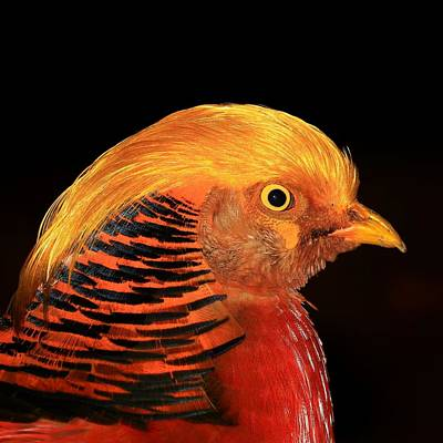 Golden Pheasant Portrait Original by John Absher