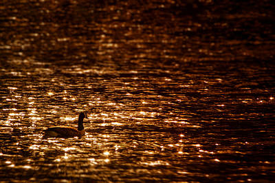 Photograph - Golden Pond by Greg Collins