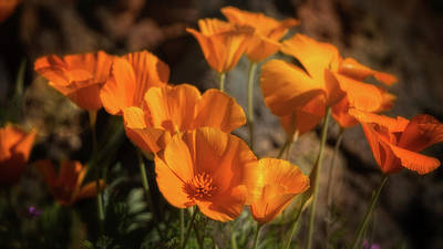 Photograph - Golden Poppies Abound  by Saija Lehtonen