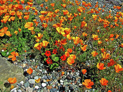 Photograph - Golden Poppies And Red Nasturtiums Along  Turn Point Road On San Juan Island, Washington by Ruth Hager