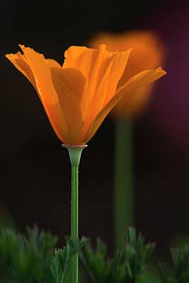Photograph - Golden Poppy Glow  by Saija Lehtonen