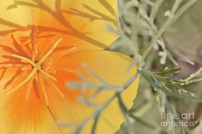 Photograph - Golden Poppy In The Evening by Janie Johnson