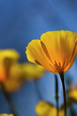 Photograph - Golden Poppy Reaching For The Skies  by Saija Lehtonen