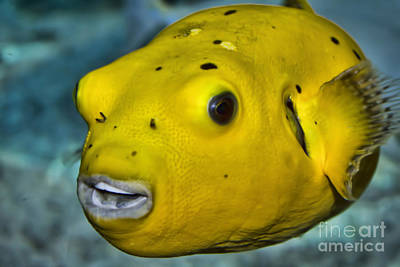 Photograph - Golden Puffer by Steven Parker