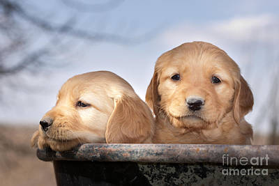 Wheel Barrows Photograph - Golden Puppies by Cindy Singleton