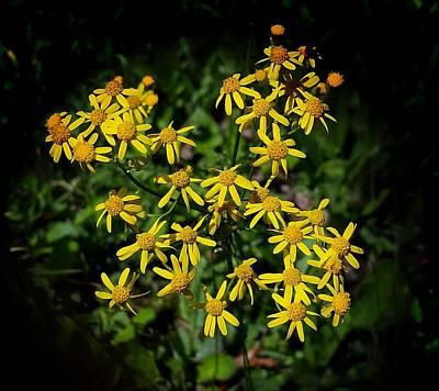Photograph - Golden Ragwort by Joe Duket