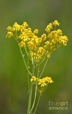 Golden Ragwort Photograph - Golden Ragwort by Maria Urso