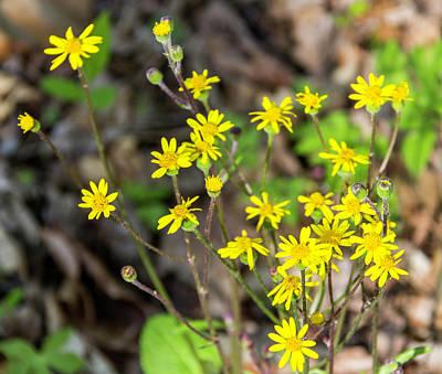 Golden Ragwort Photograph - Golden Ragwowrt Visitor by Teresa Mucha