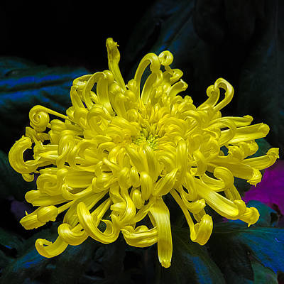 Photograph - Golden Rain Spider Mum by Julie Palencia